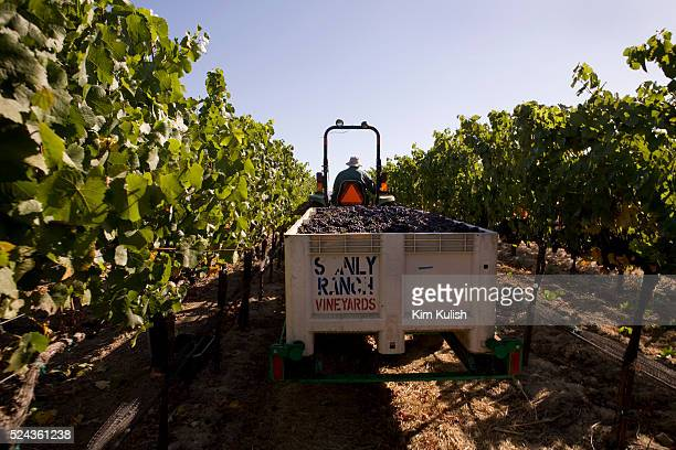 Pinot Noir wine grapes are harvested in the Carneros District a cool windswept region that borders the San Pablo Bay and marks the entrance to both...