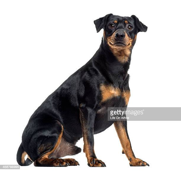 pinscher and jagterrier crossbreed, isolated - pinscher nano foto e immagini stock