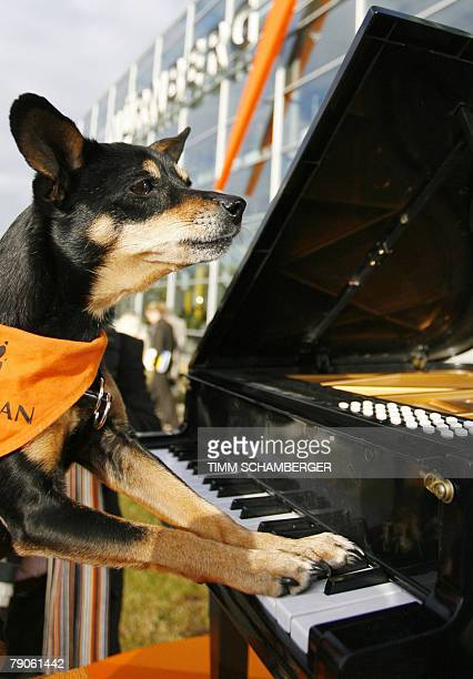 Pinscher crossbreed Milly poses on a minipiano to promote the CACIB 2008 pedigree dog show in Nuremberg southern Germany More than 3000 dogs will...