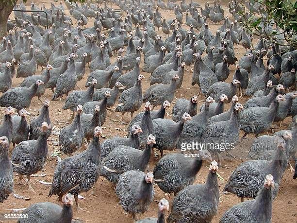 pintades - guinea fowl stock pictures, royalty-free photos & images