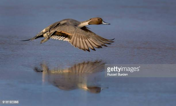 pintail duck - water bird stock photos and pictures