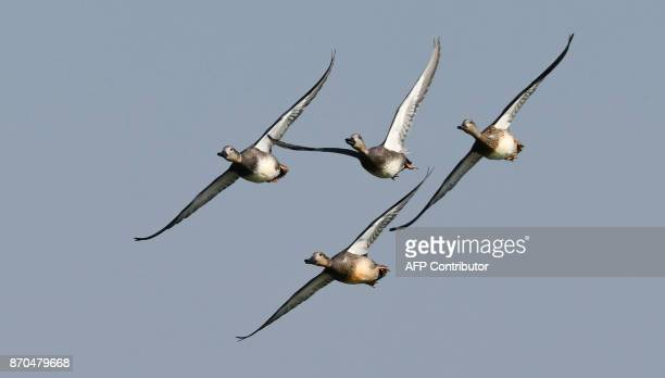 Pintail ducks fly at the Pobitora Wildlife Sanctuary in Morigaon ditrict of Assam on November 05 2017 With the onset of winter season migratory birds...