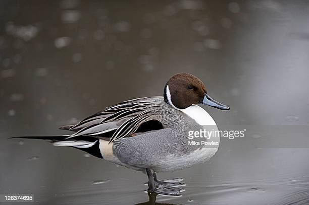 Pintail (Anas acuta), Norfolk, UK