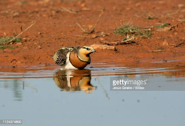 pin-tailed sandgrouse. pterocles alchata - royal tern stock photos and pictures