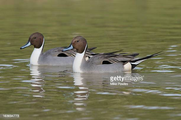 Pintal, drakes swimming on lake, Norfolk