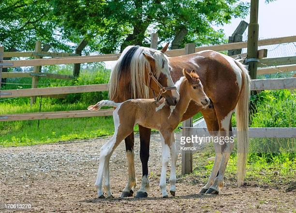 pinto arabian horses - mare and newborn foal - colts stock photos and pictures