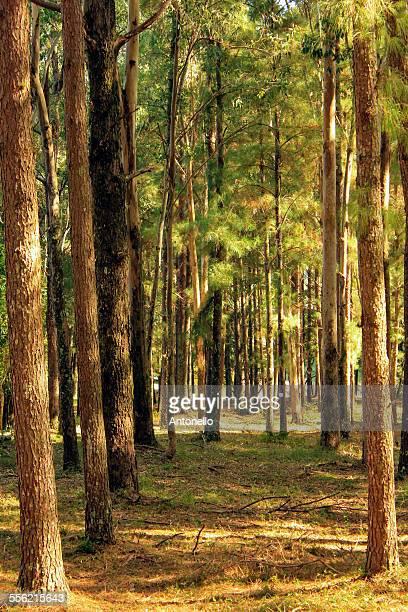 Pinus forest