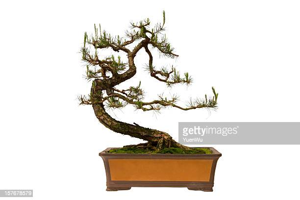 Pinus massoniana 盆栽