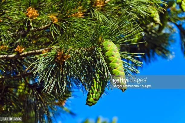 pinus peuce (macedonian pine) against the blue sky - eastern white pine stock pictures, royalty-free photos & images