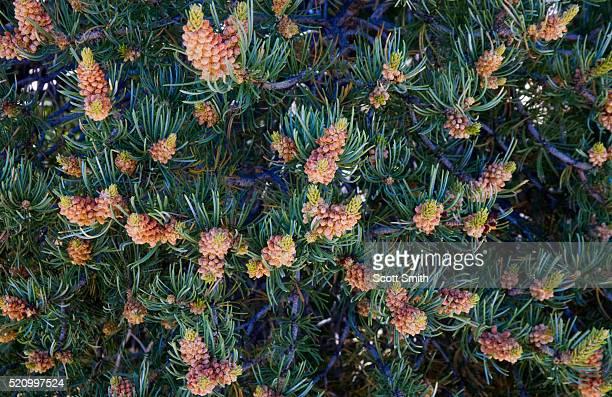 pinyon pine (pinus edulis) - barrväxter bildbanksfoton och bilder