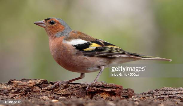 pinzon vulgar (macho) - american robin stock pictures, royalty-free photos & images