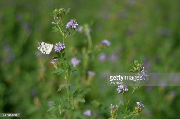 Pioneer white butterfly