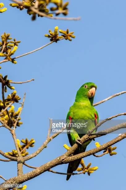 pionus on the golden trumpet tree branch. - crmacedonio ストックフォトと画像