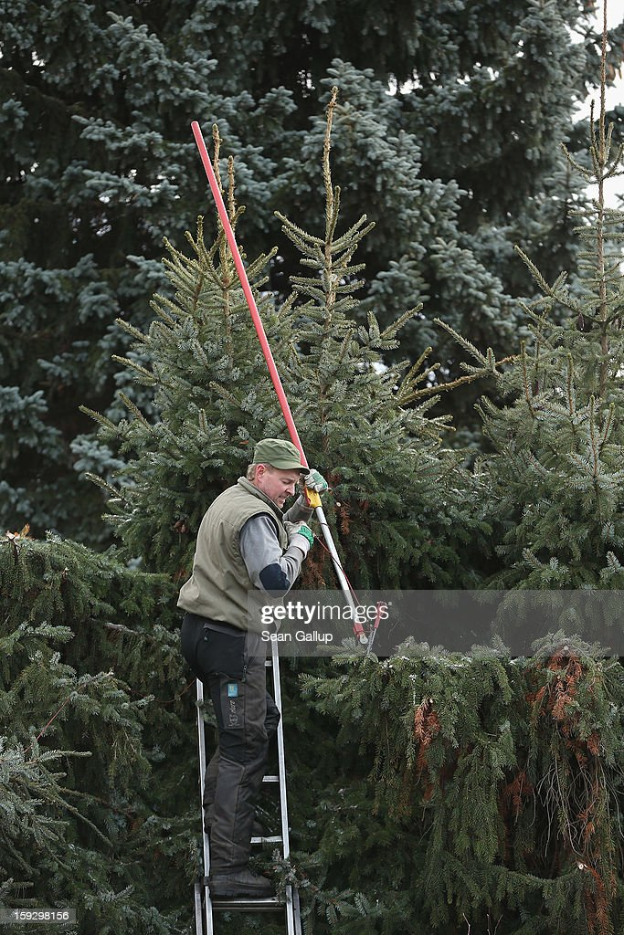 Piotr, who works for a Berlin tree and landscaping service, prunes fir trees at a residence on January 11, 2013 in Berlin, Germany. Winter and late fall are ideal times for pruning trees as the trees are dormant, which prevents sap bleeding from the cuts.