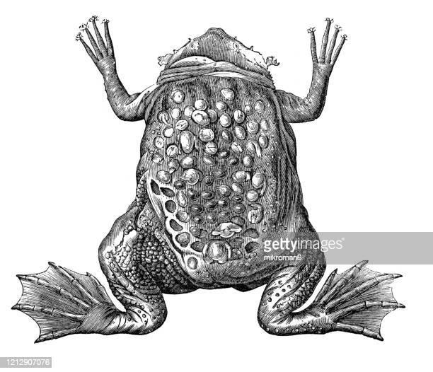 pipa or surinam toad - species, classification of batrachians and other amphibia - osseous fishes. antique illustration, published 1894 - sapo do suriname imagens e fotografias de stock