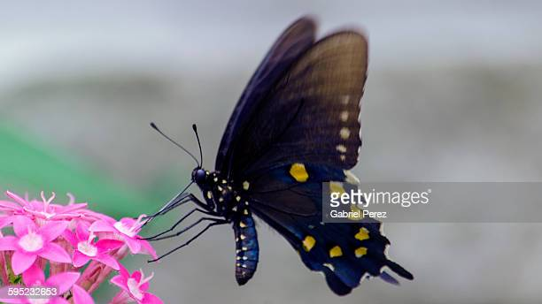 a pipeline swallowtail butterfly - swallowtail butterfly stock pictures, royalty-free photos & images