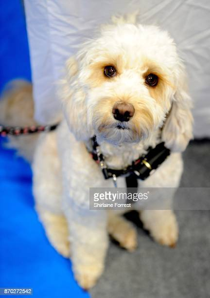 Piper a Cockapoo attends the National Pet Show at The NEC Arena on November 4 2017 in Birmingham England