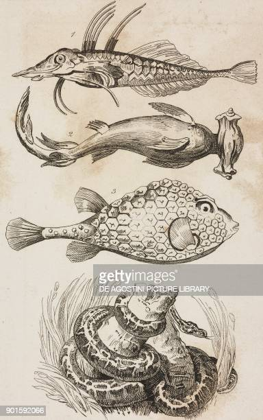 1 Piper gurnard 2 Hammer fish 3 Triangular boxfish 4 Colossal python Fish and snakes Oceania and Australia engraving from Oceanie ou Cinquieme partie...
