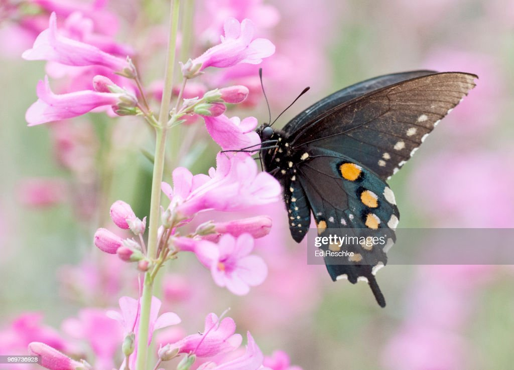 Pipevine Swallowtail Butterfly (Battus philenor) on Barry Penstemon : Stock Photo