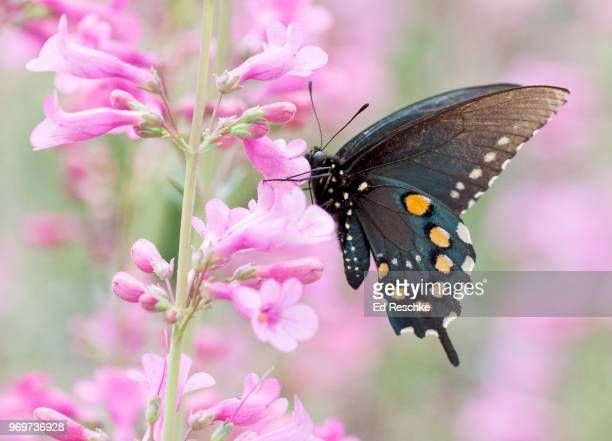 pipevine swallowtail butterfly (battus philenor) on barry penstemon - ed reschke photography stock photos and pictures