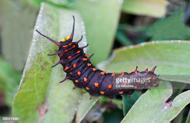 pipevine swallowtail caterpillar with osmeterium - ed reschke photography stock photos and pictures