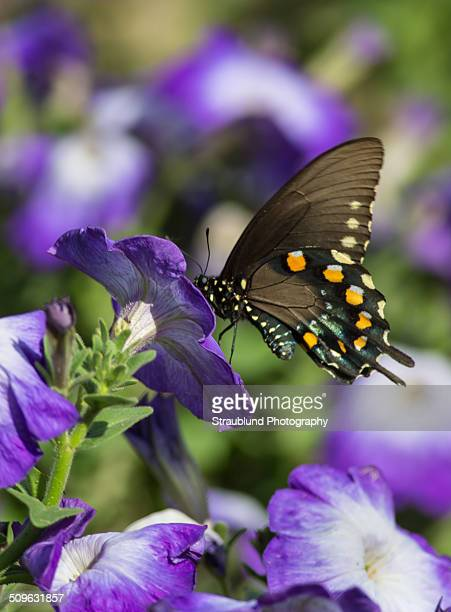 Pipevine Swallowtail on purple