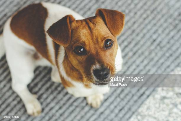 pipi - jack russell terrier stock photos and pictures