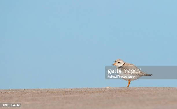 piping plover adult against blue sky - wantagh stock pictures, royalty-free photos & images