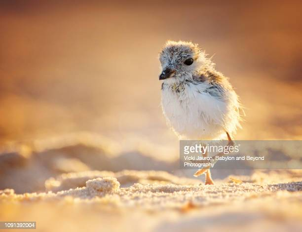 piping plover chick backlit and on the run at jones beach, long island - jones beach stock pictures, royalty-free photos & images