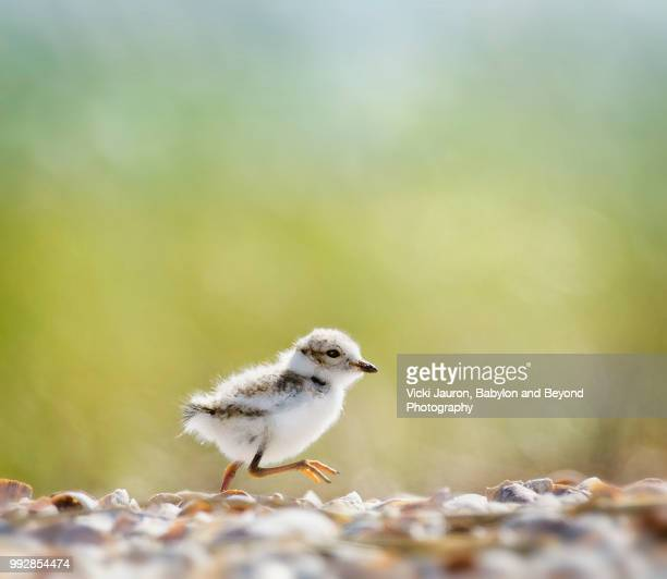 piping plover chick on the run at caumsett state park, long island - huntington suffolk county new york state stock pictures, royalty-free photos & images