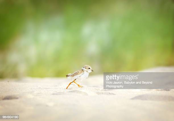 Piping Plover Chick on the Run at Nickerson Beach, Long Island, NY.