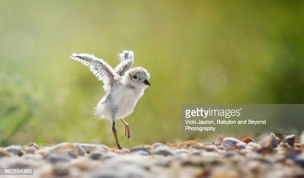 piping plover chick stretching his wings at caumsett state park, long island, ny - huntington suffolk county new york state stock pictures, royalty-free photos & images