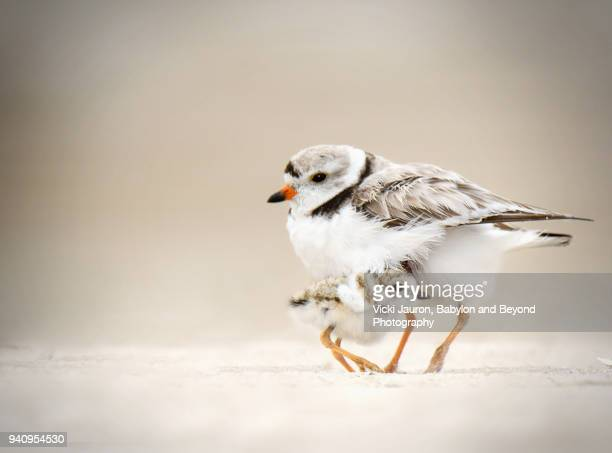 piping plover chick taking shelter under his mother at jones beach - wader bird stock photos and pictures