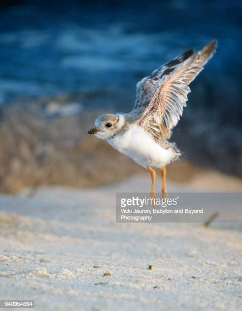 piping plover chick testing out his wings at jones beach - wader bird stock photos and pictures