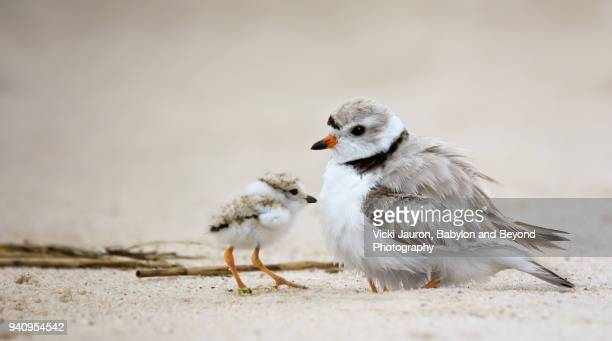 piping plover chick with mother - wantagh stock pictures, royalty-free photos & images