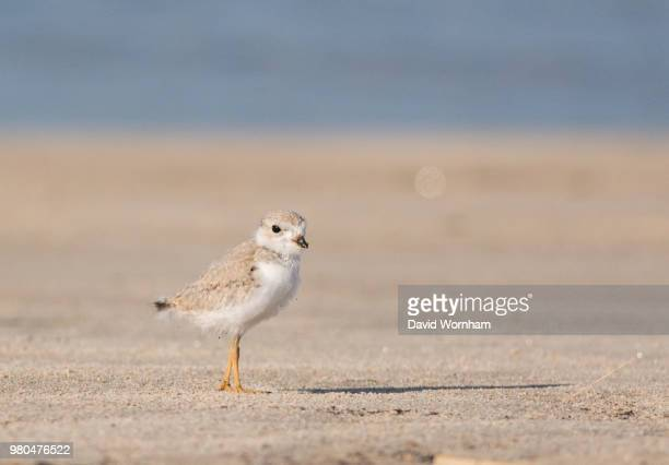 piping plover (charadrius melodus) standing on sandy beach, massachusetts, usa - wader bird stock photos and pictures