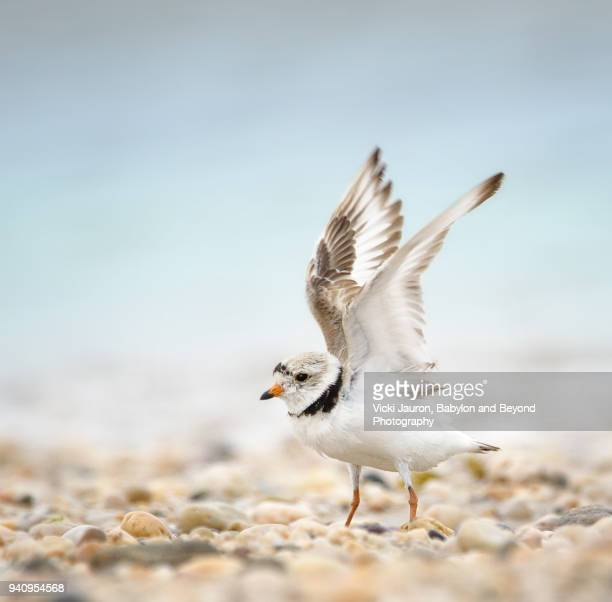 piping plover with wings spread at caumsett state park - huntington suffolk county new york state stock pictures, royalty-free photos & images