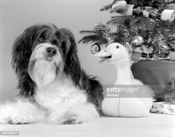 Pippin the mongrel dog and Florence the duck sitting under a Christmas tree