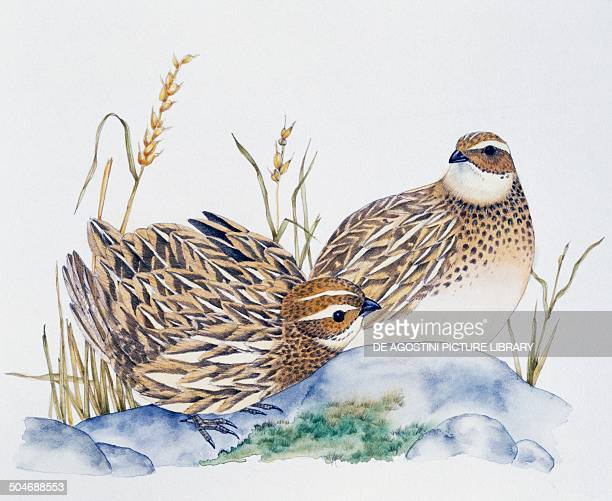 Pir of Common Quails Phasianidae drawing