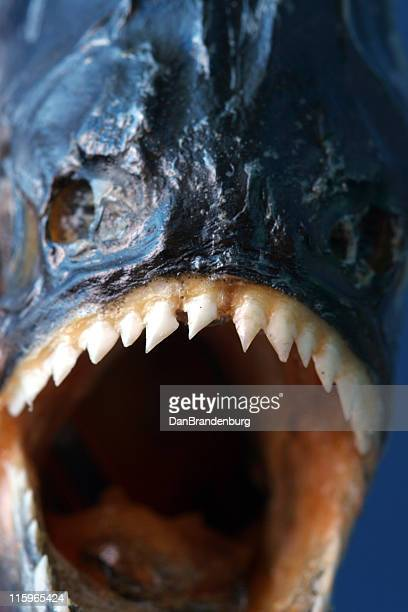 piranha closeup - dry mouth stock photos and pictures