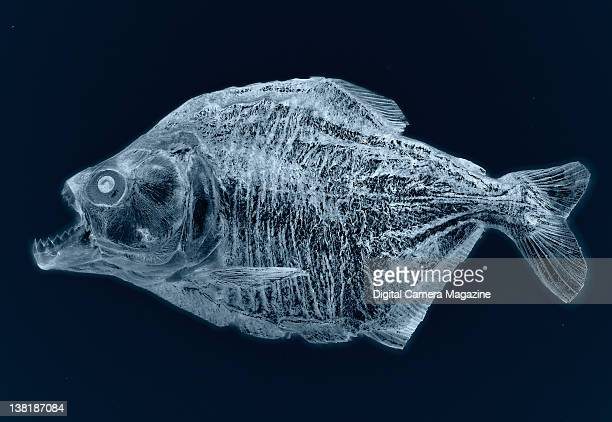 Piranha fish highlighted with an X-ray effect, session for Digital Camera on February 16, 2011.