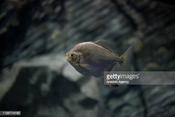 Piranha is seen at Colombia Country of Water Exhibition in Medellin, Colombia on July 13, 2019. A flooded Amazon rainforest reveals hidden...