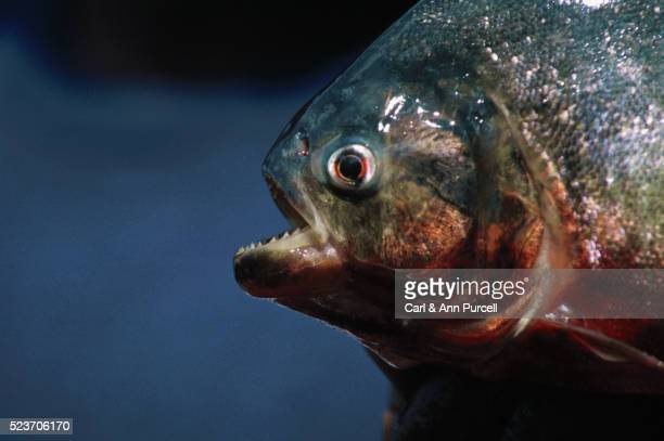piranha out of water - piranha stock pictures, royalty-free photos & images