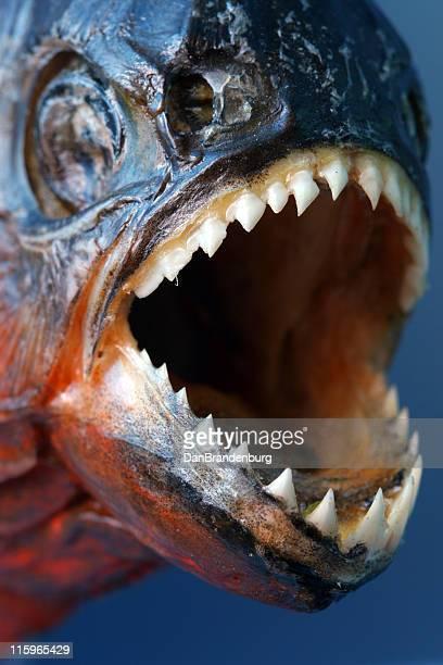 piranha - piranha photos et images de collection