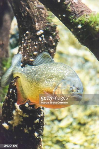 piranha - piranha stock pictures, royalty-free photos & images