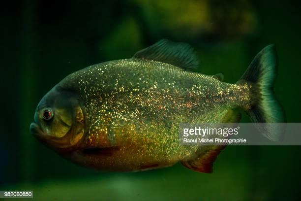 piranha... - piranha photos et images de collection