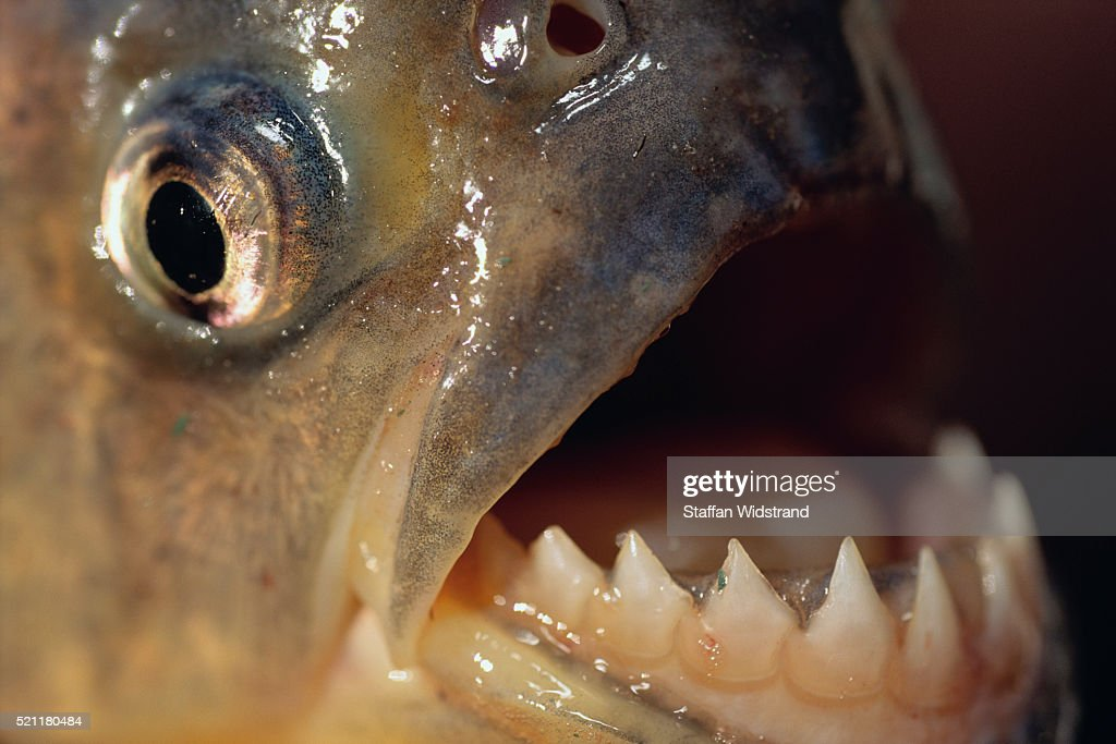 Piranha Serrasalmus Teeth : Stock Photo