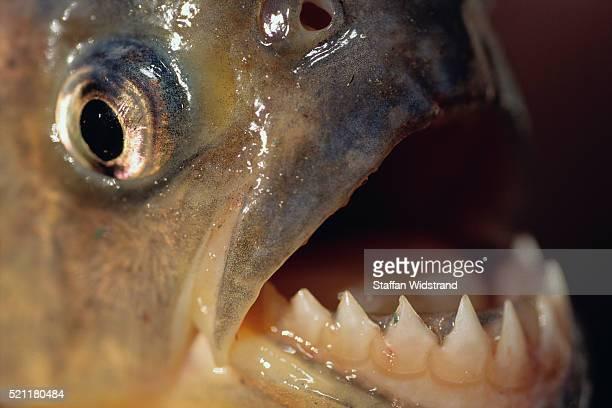 piranha serrasalmus teeth - piranha photos et images de collection