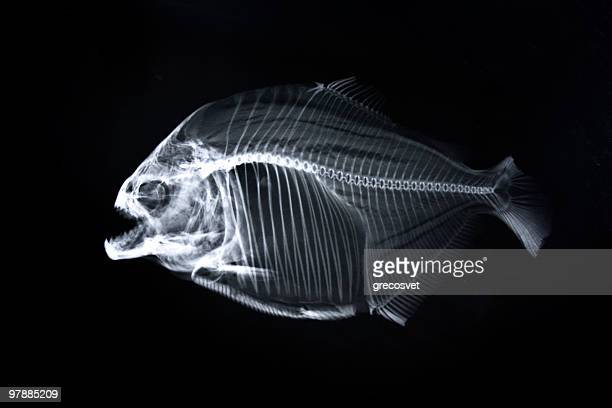 Piranha x-ray of animal skeleton