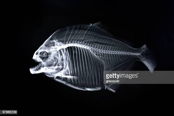 piranha x-ray of animal skeleton - fish skeleton stock photos and pictures